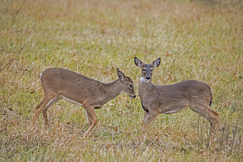 Two young Button Bucks playing together. Two young bucks together in Cades Cove royalty free stock images