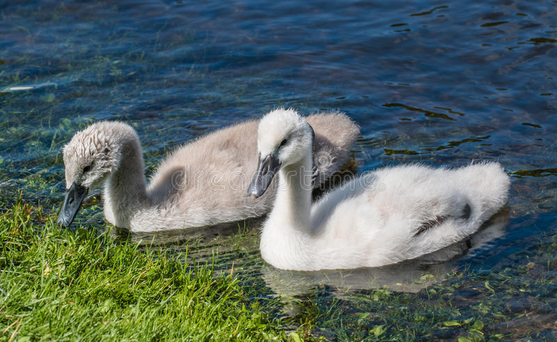 Two young cygnets of mute swan swimming in a lake. Two young cygnets of mute swan swimming on the lake looking for some food royalty free stock photos