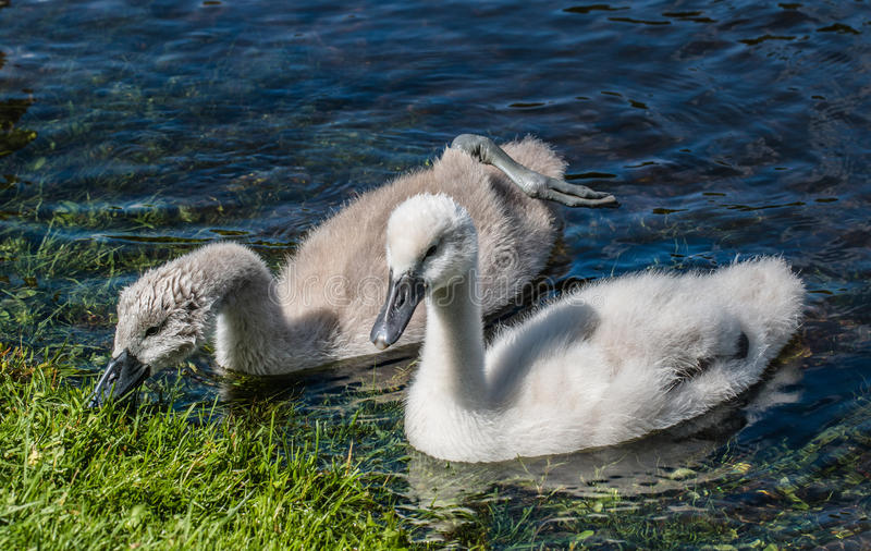 Two young cygnets of mute swan swimming in a lake. Two young cygnets of mute swan swimming on the lake looking for some food royalty free stock photo