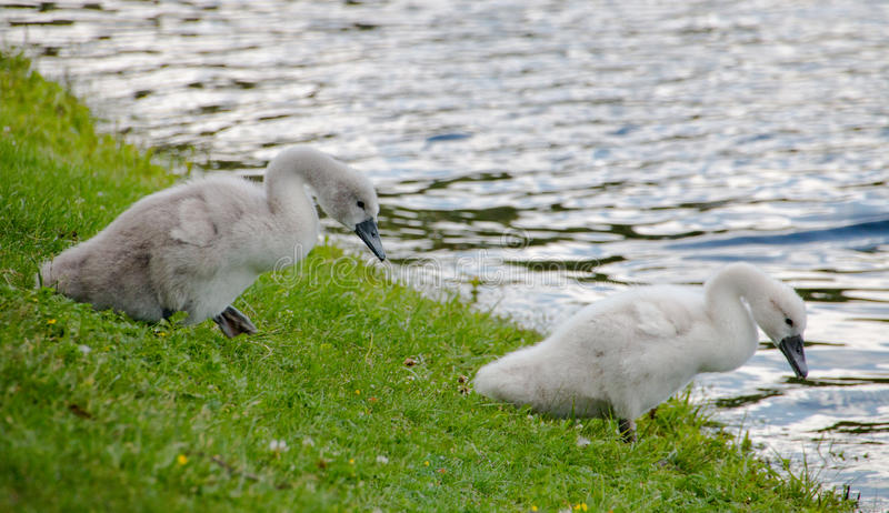 Two young cygnets of mute swan. Swimming on the way to the lake royalty free stock photos