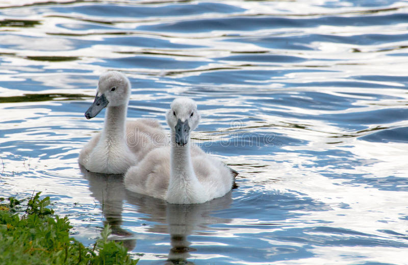 Two young cygnets swimming in a lake. Two young cygnets of mute swan swimming in a lake royalty free stock photos
