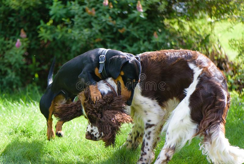 Two young dogs funny playing on green summer nature stock photography