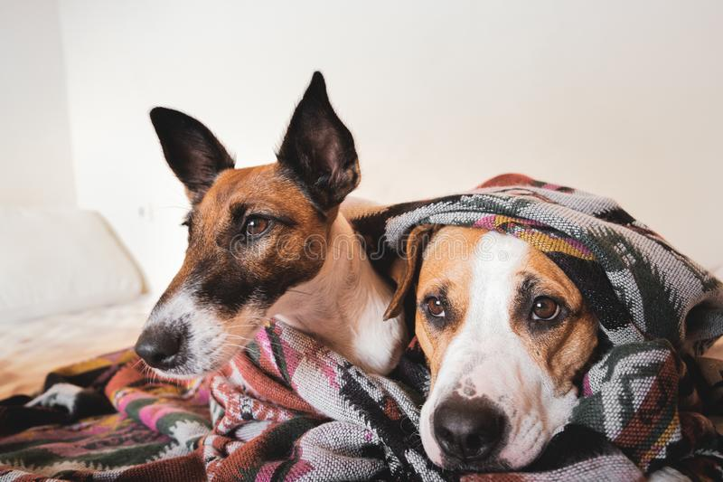 Two young dogs lay together under a poncho on the sofa. stock photos