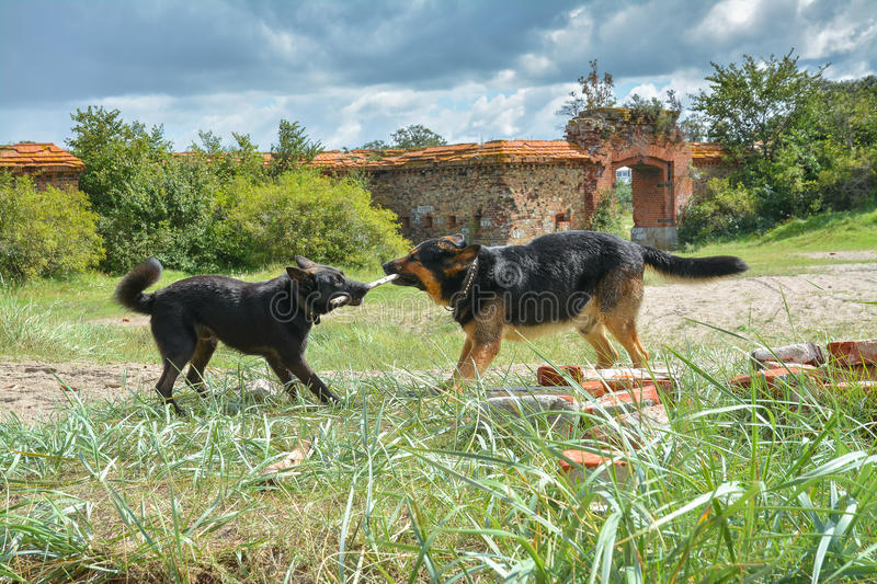 Two young dogs playing with a stick among the ruins stock photography