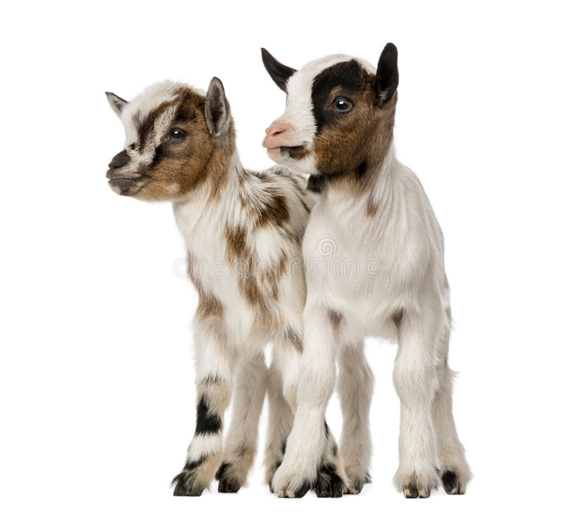 Two Young domestic goats, kids, isolated. On white royalty free stock image