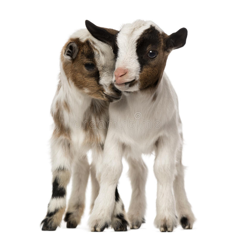 Two Young domestic goats, kids, isolated. On white royalty free stock photos