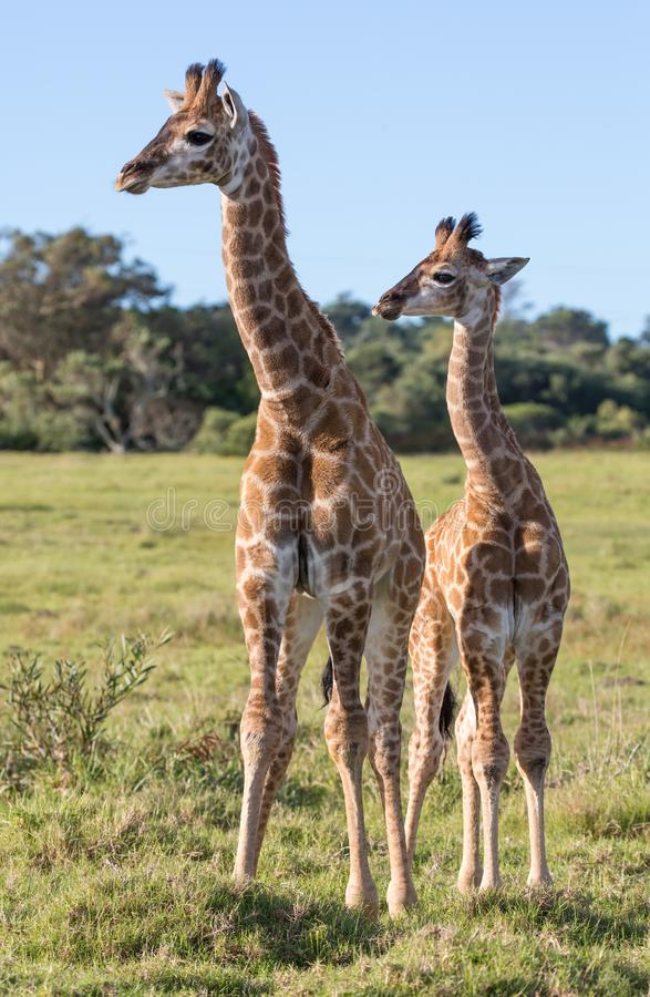 Young Giraffe Brothers royalty free stock photo