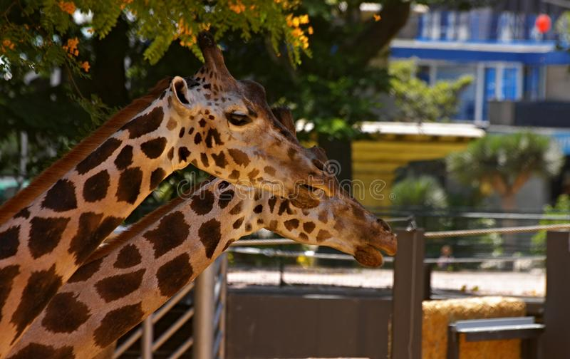 Two giraffes resting in the shadows of a tree royalty free stock photography