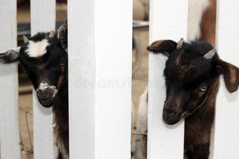 Two Young Goats stock photography