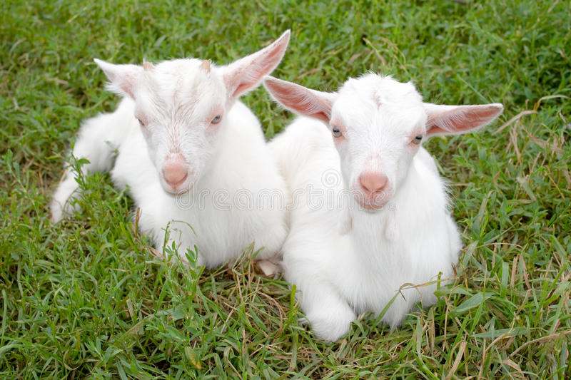 Download Two young goats. stock photo. Image of green, animals - 20644680