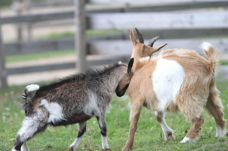 Two Young Goats At The Farm Royalty Free Stock Images