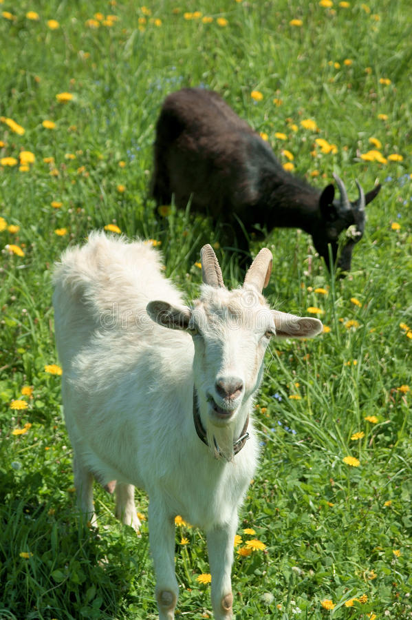 Two Young Goats Grazing Stock Photos
