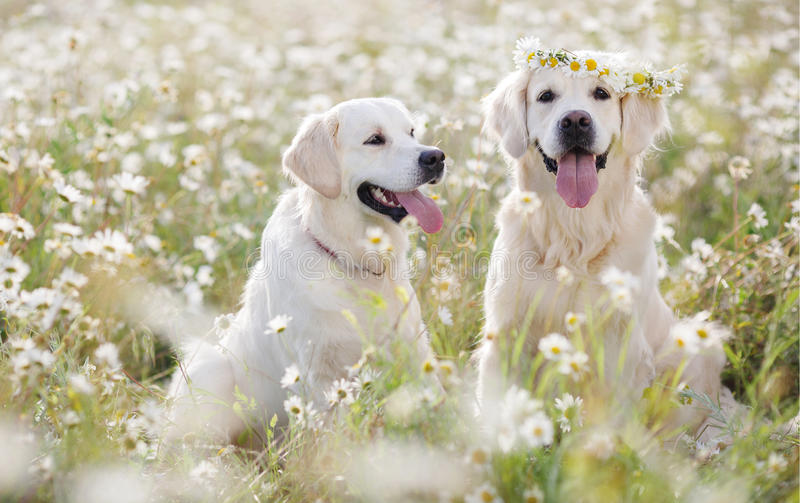 Two young Golden Retriever in the flower meadow. stock photography