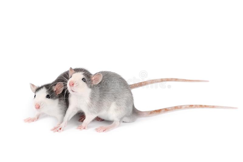 Two young gray rats isolated on white background. Rodent pets. Domesticated rats close up. Rats look at something stock photography