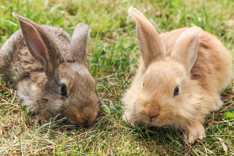 Two young grey and red rabbits sitting on green grass, close up stock photo