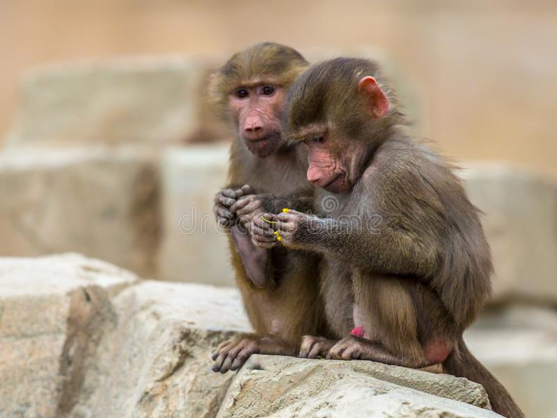 Two young Hamadryas baboons royalty free stock photo