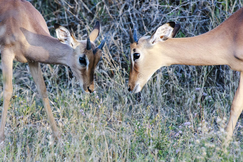 Two young Impala males. In a play fight stock photo