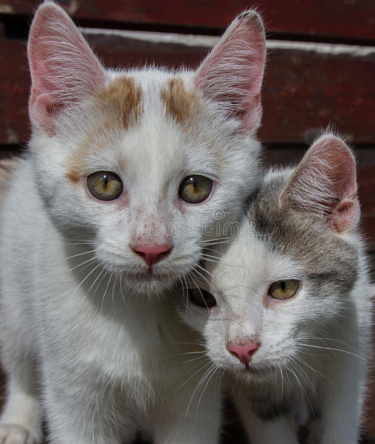 Two young kittens royalty free stock image