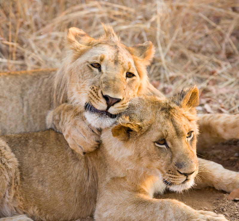 Two young lions stock photos