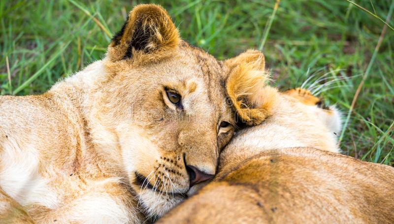 Two young lions cuddle and play with each other stock photos