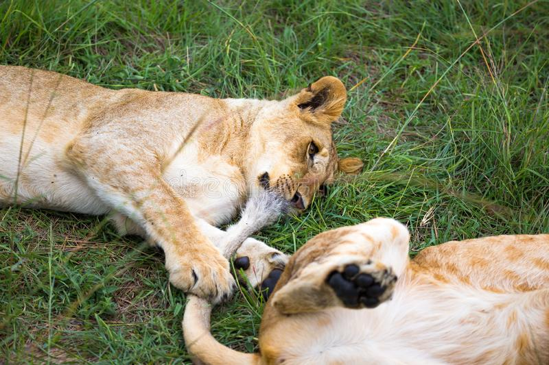 Two young lions cuddle and play with each other stock image
