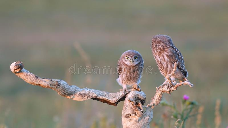 Two young Little owl, Athene noctua, stands on a stick on a beautiful background stock photos