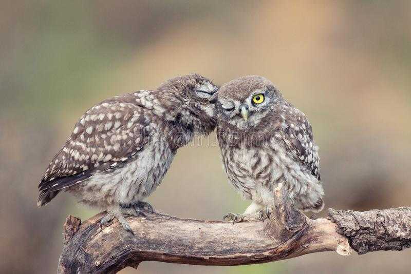 Two young Little owls, Athene noctua, sitting on a stick pressed against each other.  stock image