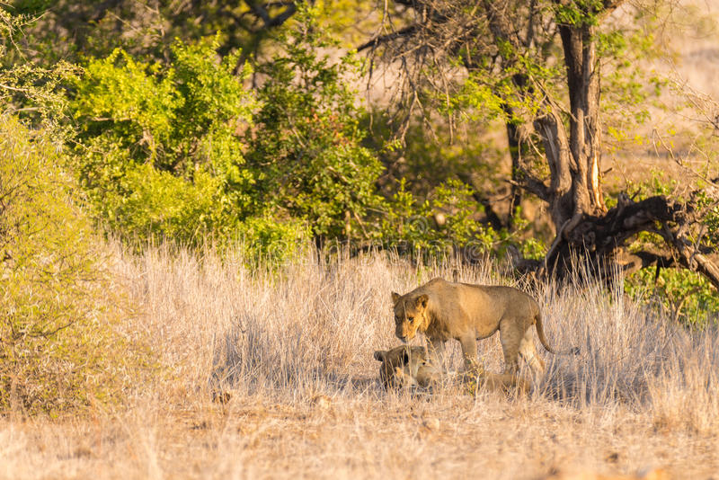 Two young male Lions lying down on the ground in the bush. Wildlife safari in the Kruger National Park, main tourist attraction in royalty free stock photos