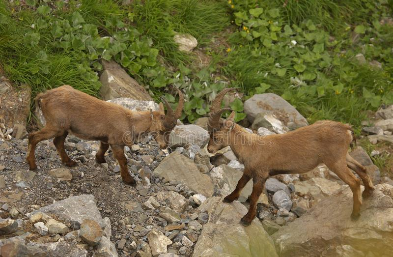 Two young males of alpine ibex. View from close-up stock photos