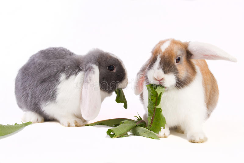 Two Young Mini-lop Rabbits Royalty Free Stock Images