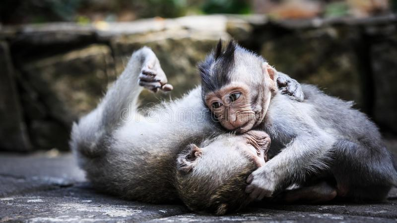 Two young monkeys playing on the ground stock photos