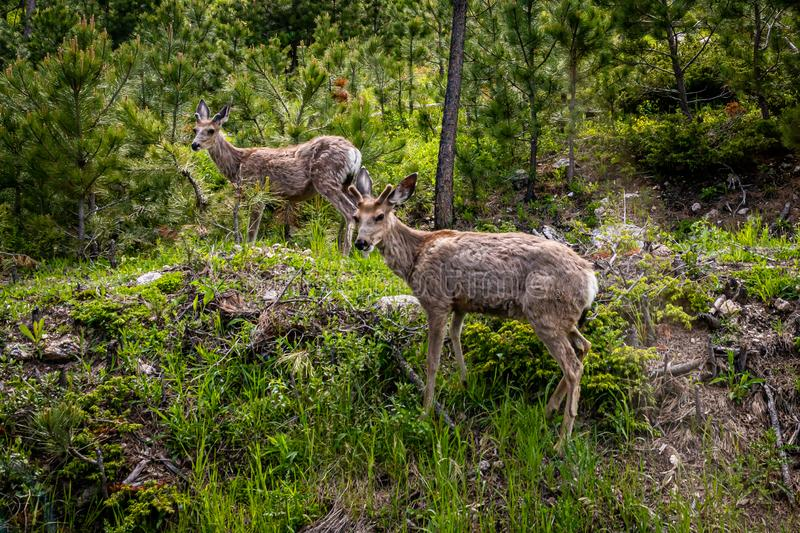 Two Young Mule Deer. A pair of adolescent mule deer at Custer State Park in the Black Hills of South Dakota royalty free stock image