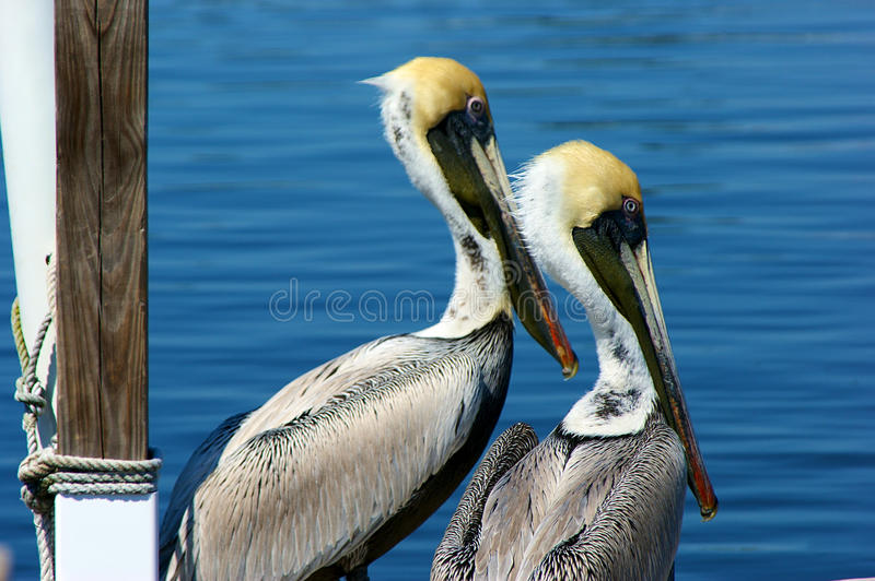 Download Two young pelicans stock image. Image of pair, rope, florida - 13573385