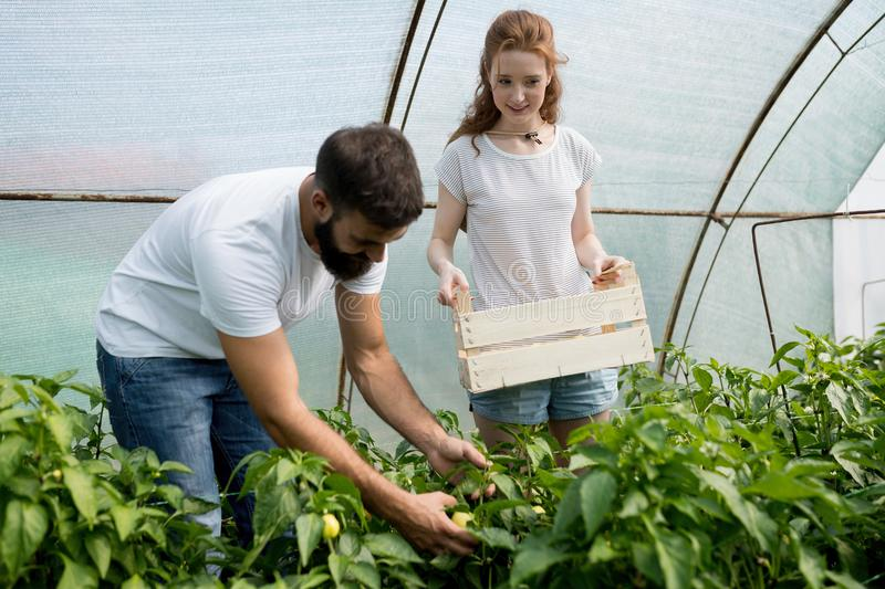 Two young people working in greenhouse. stock photos