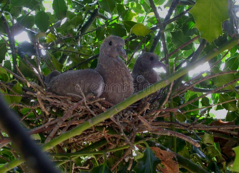 Two young pigeons, approximately seventeen days old royalty free stock image