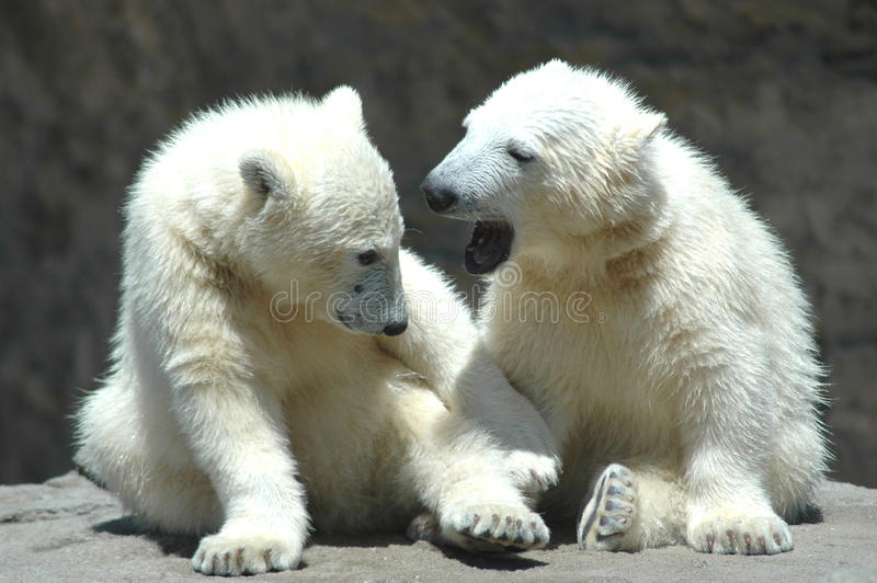 two young polar bears playing stock photography