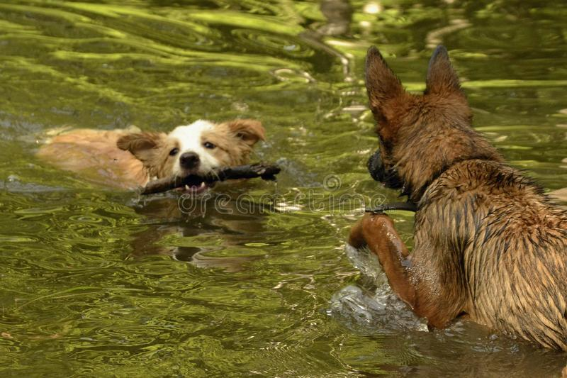 Two young puppies are playing in a pond. stock photography