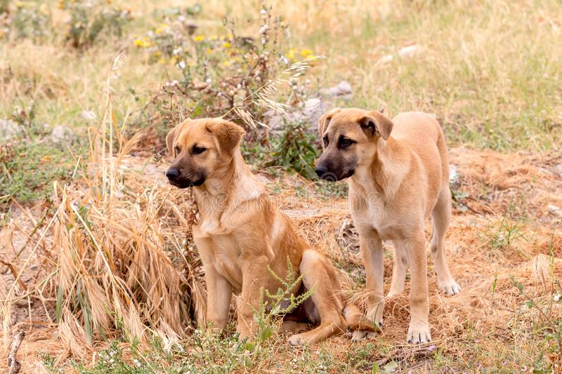 Two young puppy-brothers close-up royalty free stock images