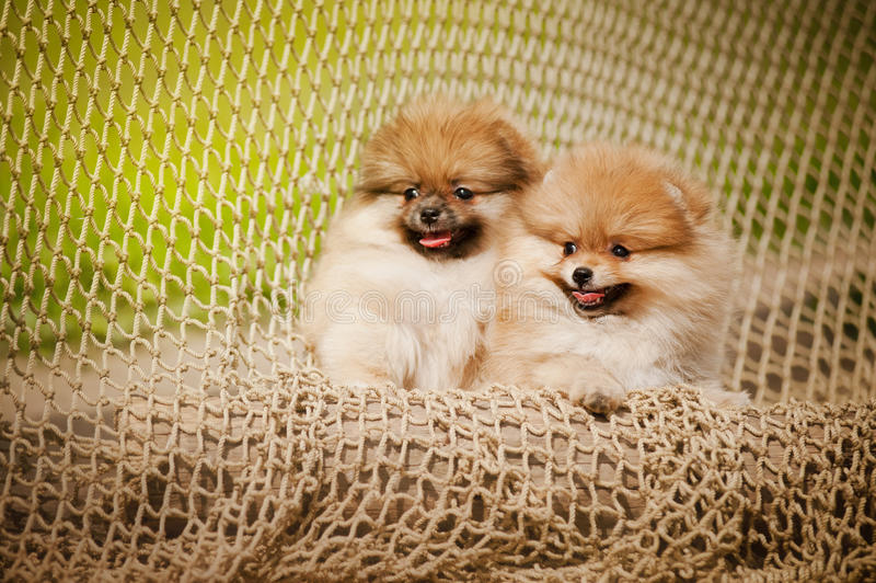 Two young puppy Spitz. Two young pomeranian Spitz puppy in summer stock photos