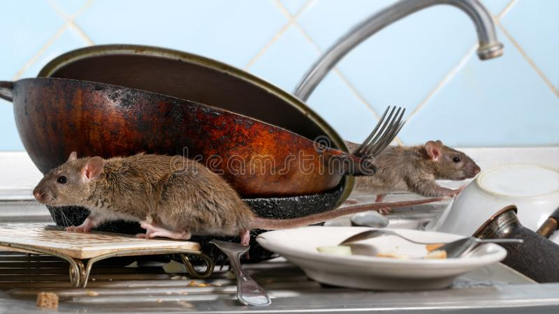 Two young rat climbs on dirty dishes in the kitchen sink. two old pans and crockery. royalty free stock image