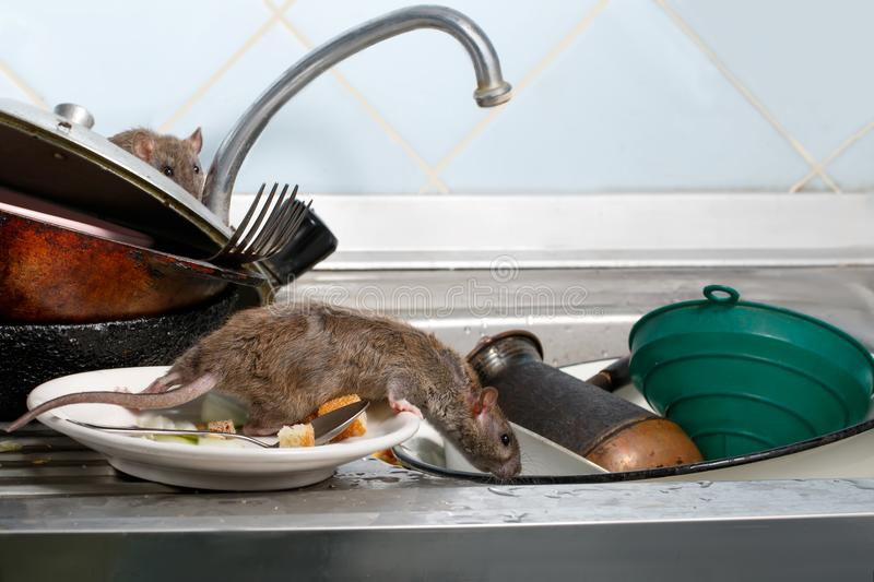 Two young rats on the sink with dirty crockery at the kitchen. Two young rats Rattus norvegicus on the sink with dirty crockery at the kitchen. Fight with stock photography