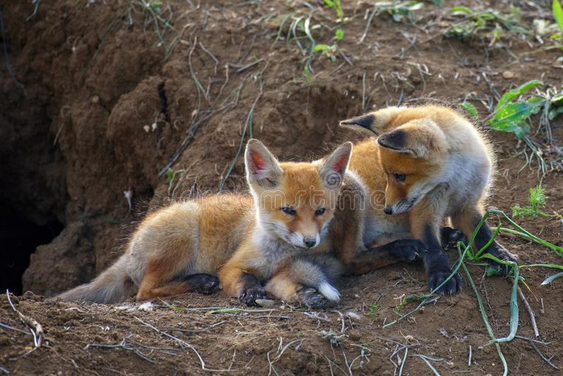 Two young red Fox playing near his hole stock images