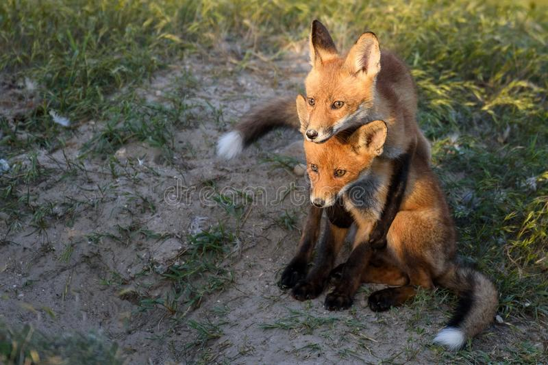 Two young red Fox playing near his hole stock image