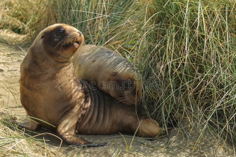 Two young sea lions playing in the dunes. Two young sea lions playing in the sand and grass dunes. Brown baby seallions look funny and cute. They cuddle and paly stock photo