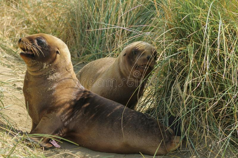 Two young sea lions playing on Jacks Bay. Two young sea lions playing in the sand and grass dunes. Brown baby seallions look funny and cute. They cuddle and paly royalty free stock photos