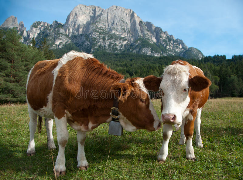 Two young Simmentaler dairy cows royalty free stock image