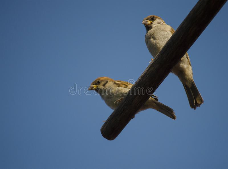 Two young sparrows sit on a wooden pole stock photography