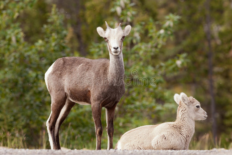 Two young Stone Sheep Ovis dalli stonei watching stock image
