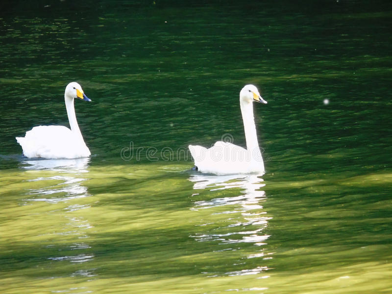 Two young swans on the lake stock photography