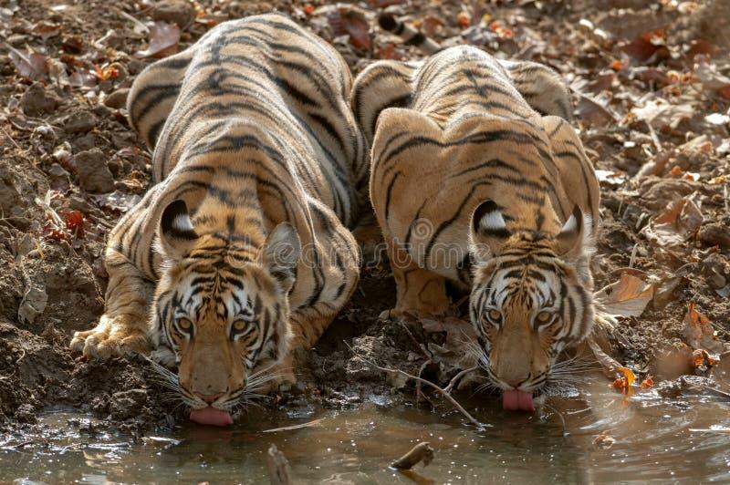 Two young tigers drinking water at Tadoba Andhari Tiger Reserve, Chandrapur, Maharashtra, India.  stock photography